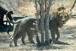 Pictures (c) BeeTee - Tansania - Lion - Mikumi National Park - Baobab Valley Camp
