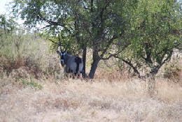 Picture (c) BeeTee - Central Kalahari - Oryx