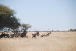 Picture (c) BeeTee - Central Kalahari - OPryx