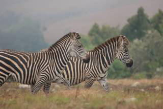 Pictures (c) BeeTee - Malawi - Nyika Plateau - Zebra