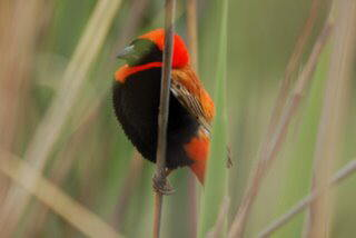 Pictures (c) BeeTee - Lesotho - Kruger Park - Waaidam Resort - Harrismith- Red Bishop